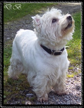 Westhigland White Terrier Dame Angie 10Jahre...04.06.06
