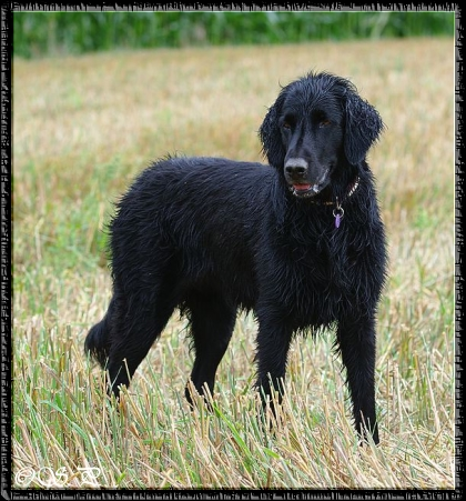 Freundin Chayenne (Flat Coated Retriever)...06.08.2011