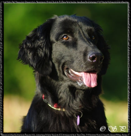 Chayenne (Flat Coated Retriever Hündin) ....16.08.2011